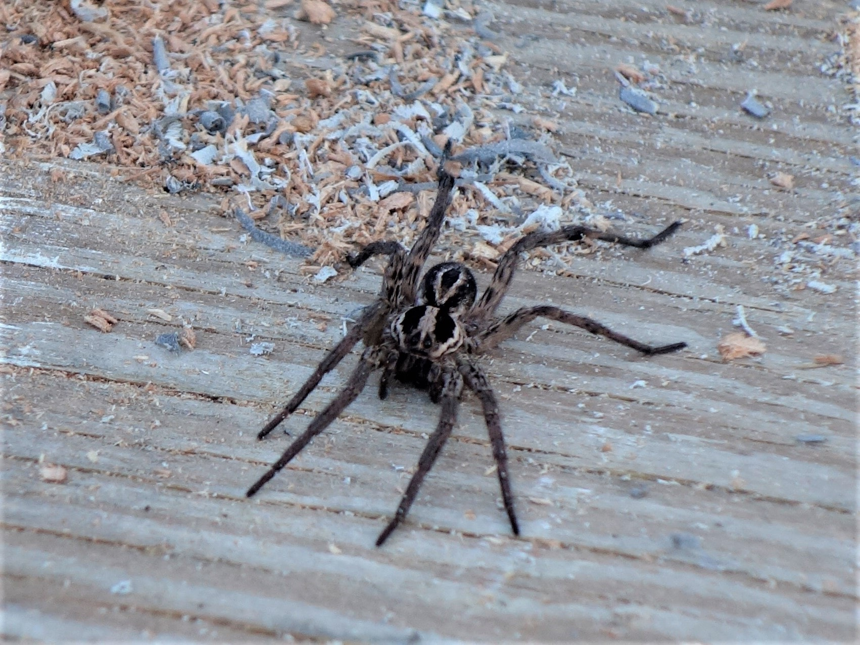 Camel Spider - fights, skin lesions, photos and speedy Pictures of spiders in south dakota