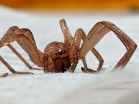 Picture of Zoropsidae (False Wolf Spiders) - Eyes