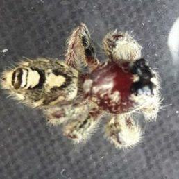 Featured spider picture of Hyllus diardi (Heavy Jumping Spider)