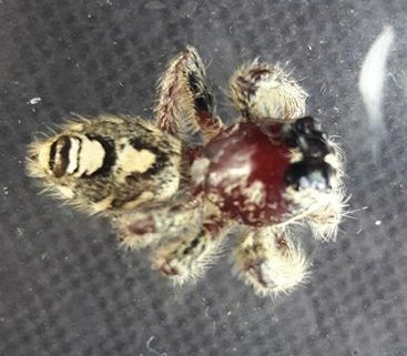 Picture of Hyllus diardi (Heavy Jumping Spider) - Dorsal