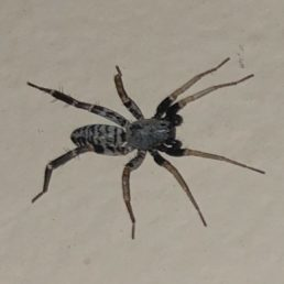 Featured spider picture of Castianeira variata