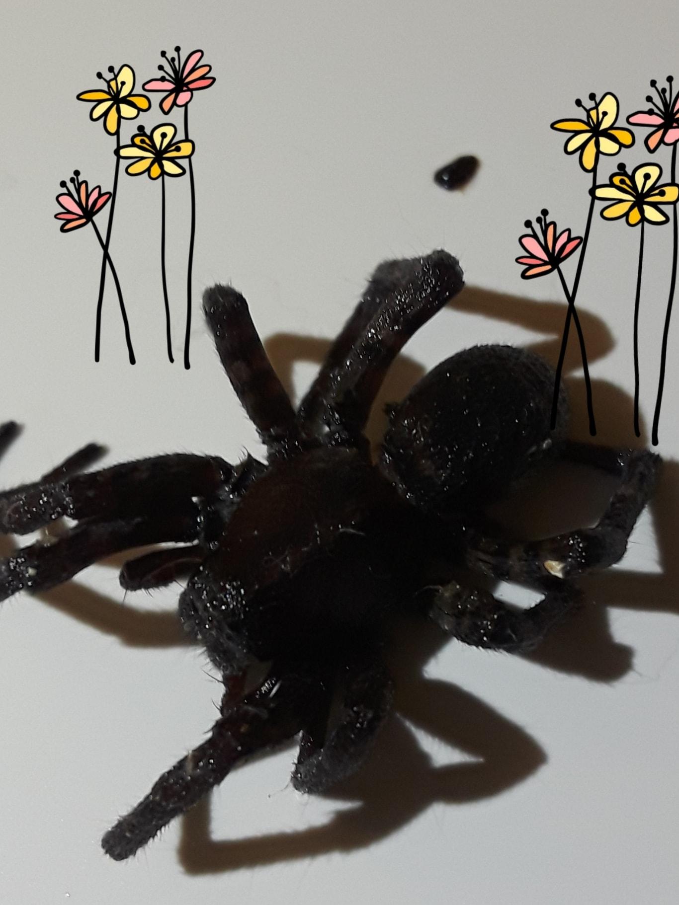 Picture of Tigrosa georgicola - Dorsal