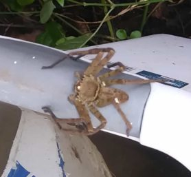 Picture of Heteropoda venatoria (Huntsman Spider) - Dorsal