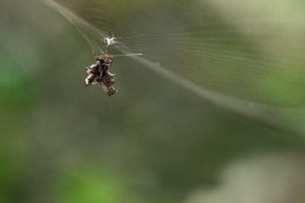 Picture of Micrathena gracilis (Spined Micrathena) - Female - Lateral,Webs