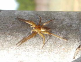 Picture of Dolomedes vittatus - Dorsal