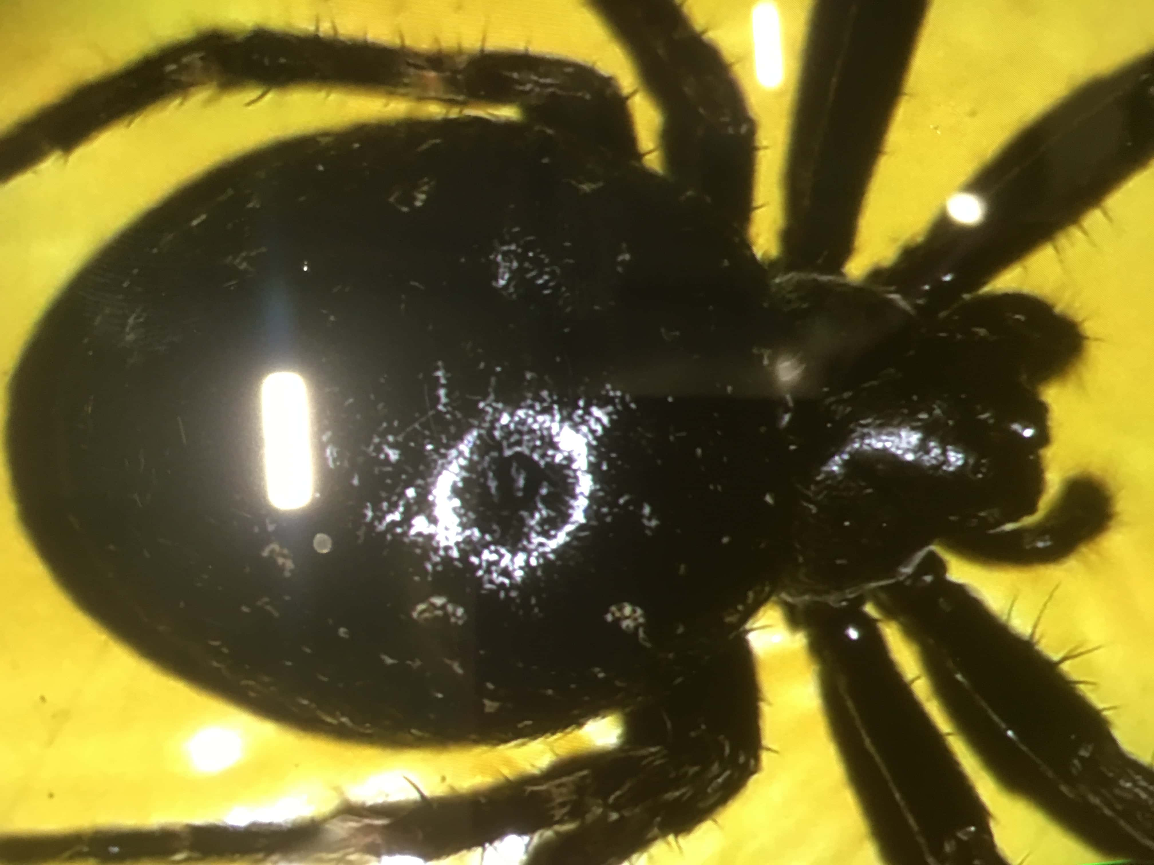 Picture of Nuctenea umbratica (Walnut Orb-weaver) - Dorsal