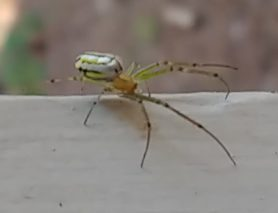 Picture of Leucauge venusta (Orchard Orb-weaver) - Lateral