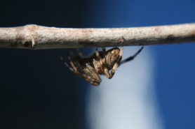 Picture of Neoscona crucifera (Hentz Orb-weaver) - Lateral
