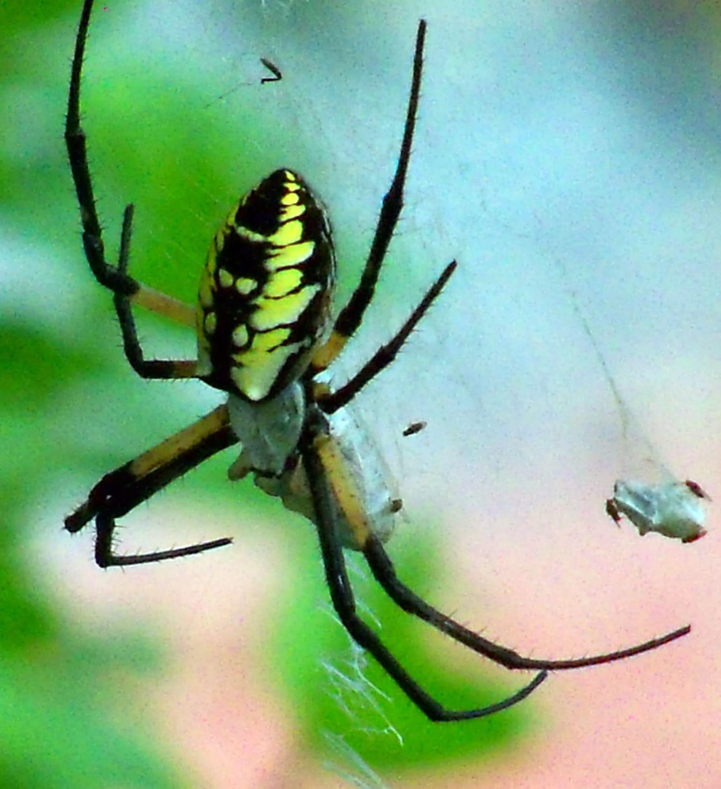 Picture of Argiope aurantia (Black and Yellow Garden Spider) - Dorsal,Prey