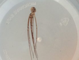 Picture of Pholcidae (Cellar Spiders) - Male - Lateral