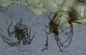 Picture of Parasteatoda spp.