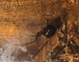 Picture of Steatoda grossa (False Black Widow) - Lateral,Webs
