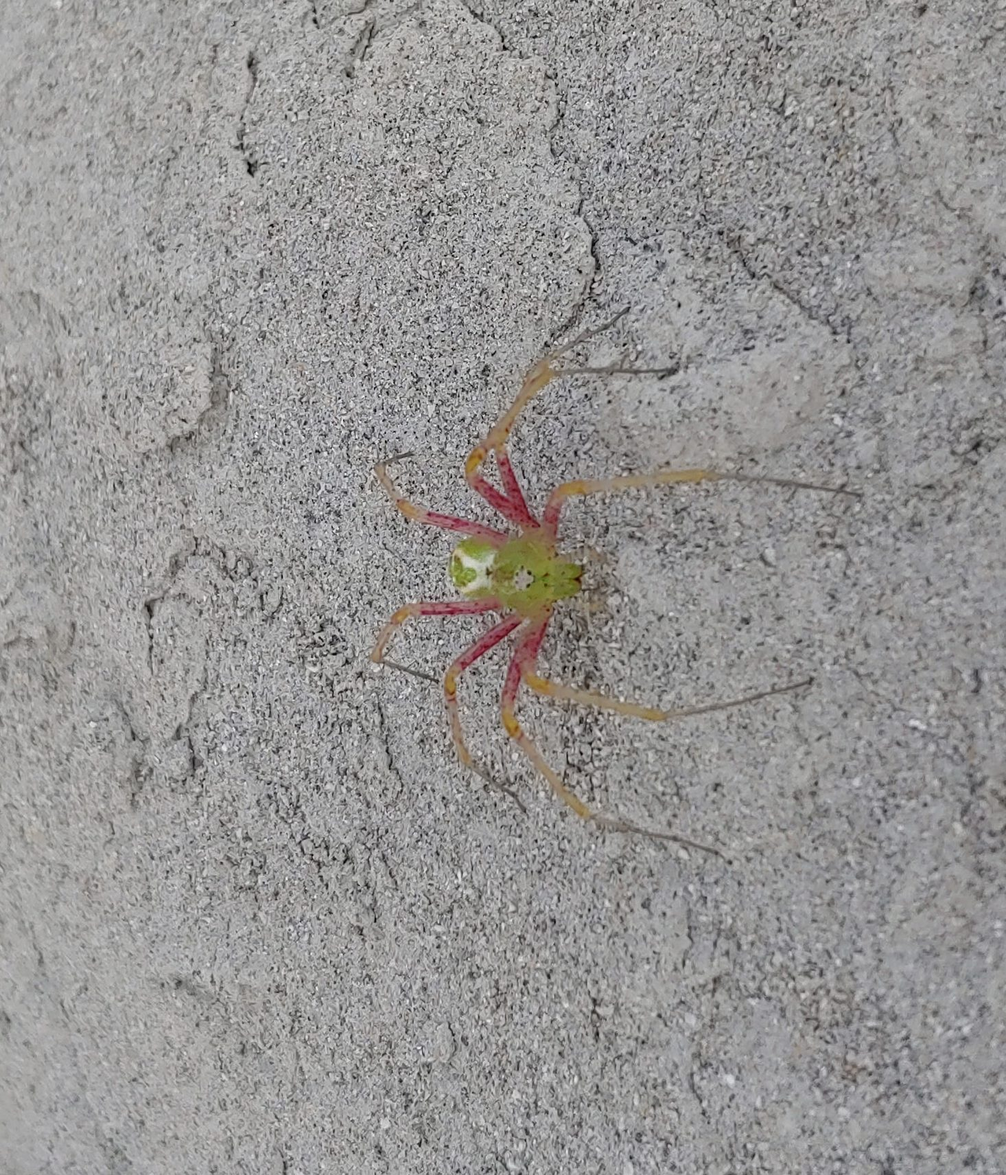 Picture of Peucetia viridans (Green Lynx Spider) - Dorsal