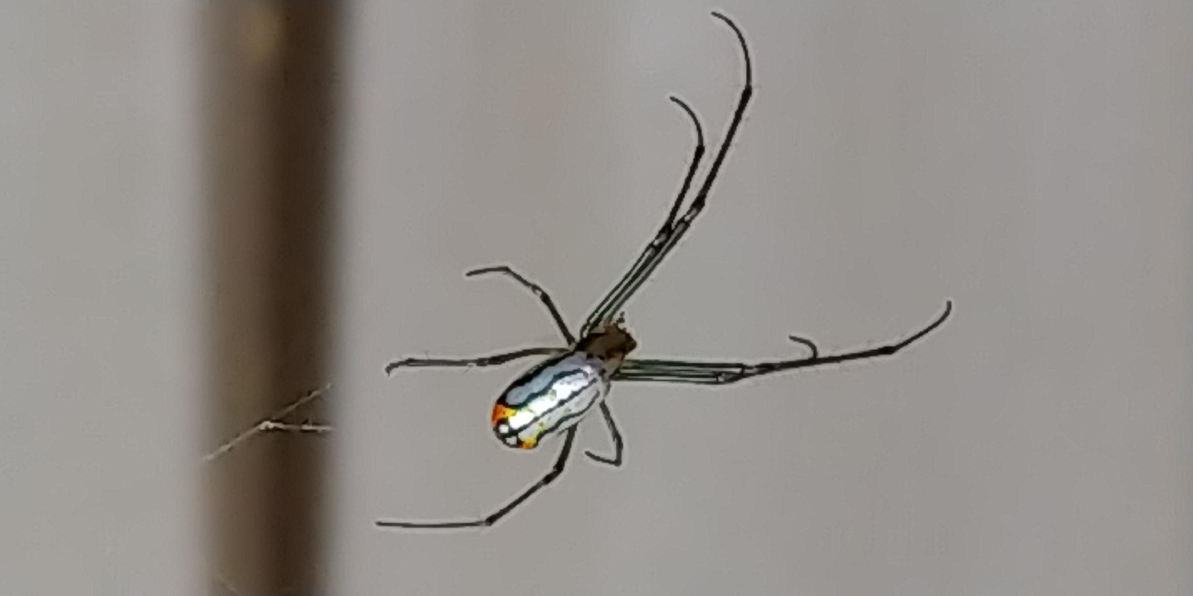 Picture of Leucauge argyrobapta (Mabel Orchard Orb-weaver) - Dorsal