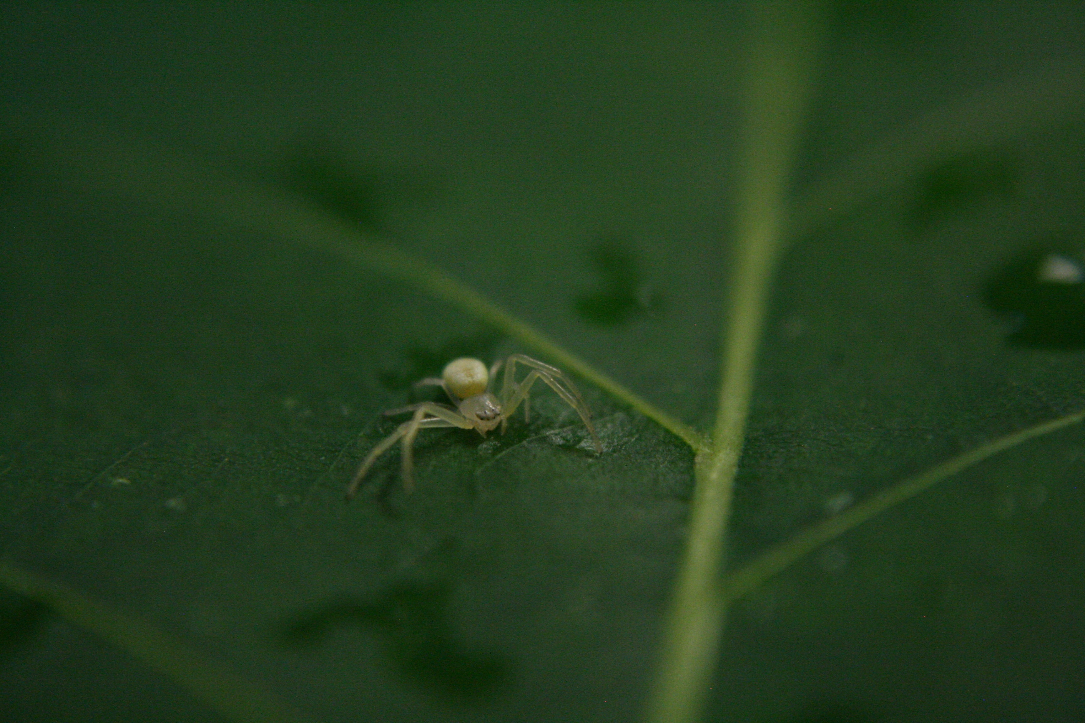 Picture of Misumessus oblongus (American Green Crab Spider) - Dorsal