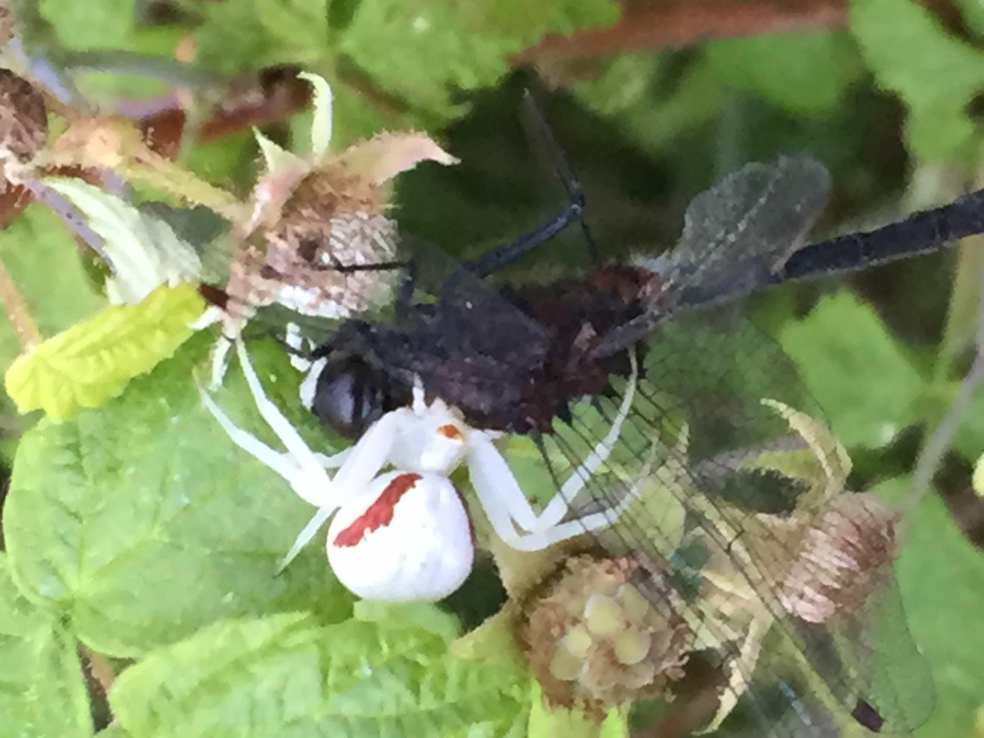Picture of Misumena vatia (Golden-rod Crab Spider) - Female - Dorsal,Prey