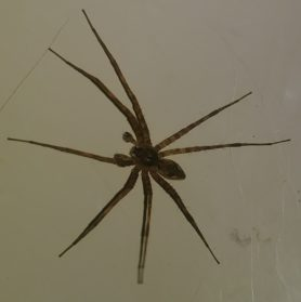 Picture of Dolomedes spp. (Fishing Spiders) - Male - Dorsal