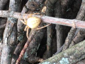 Picture of Araneus diadematus (Cross Orb-weaver) - Dorsal