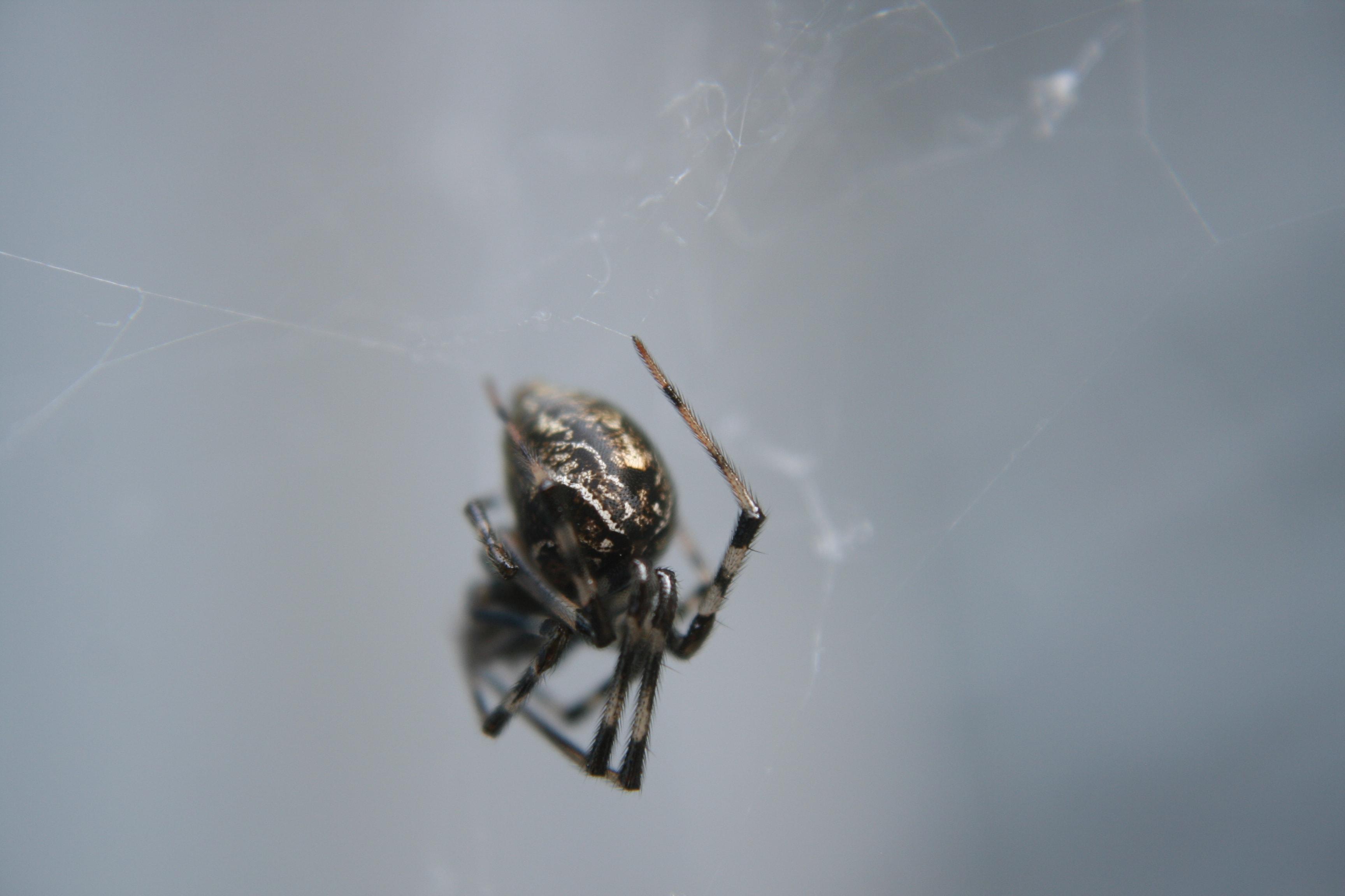 Picture of Parasteatoda tepidariorum (Common House Spider) - Lateral
