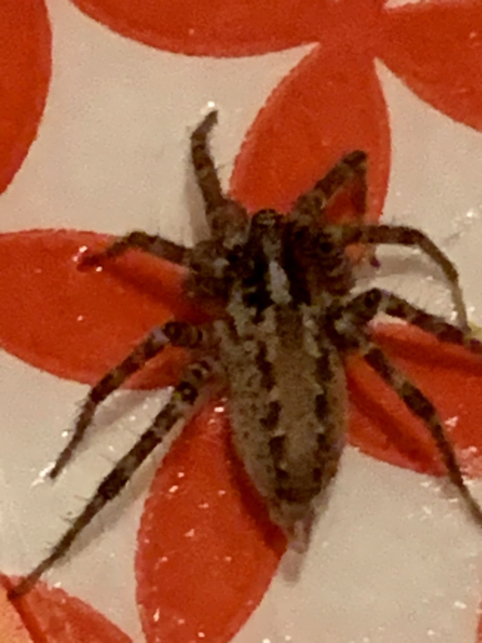 Picture of Barronopsis texana - Dorsal