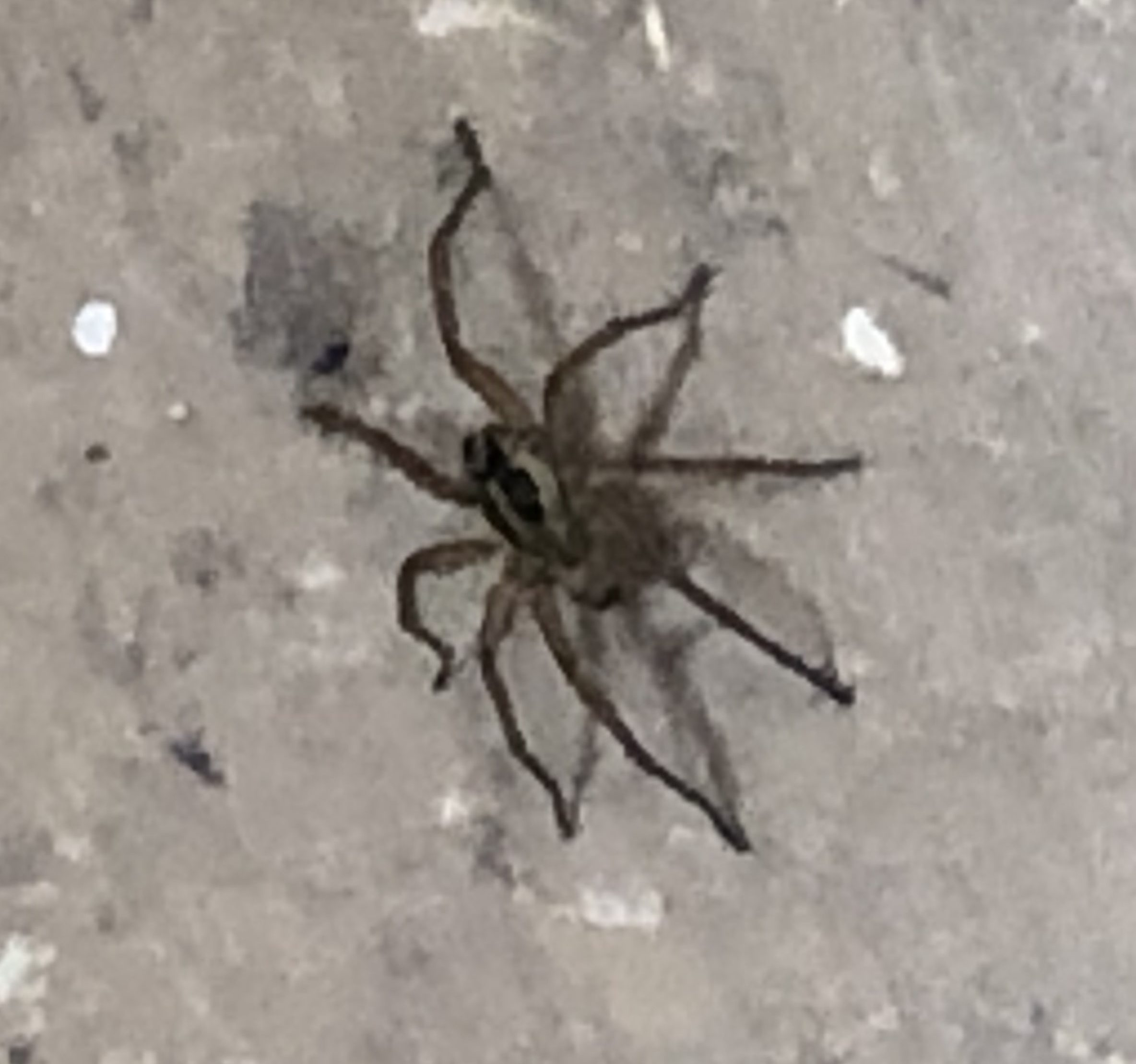 Picture of Lycosidae (Wolf Spiders)