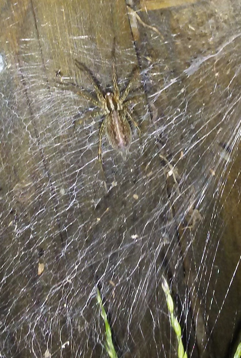 Picture of Agelenopsis (Grass Spiders) - Dorsal,Webs