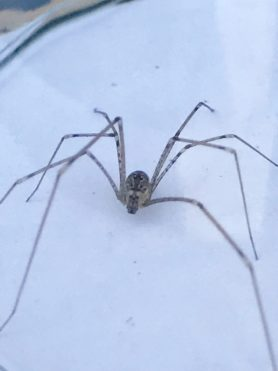 Picture of Holocnemus pluchei (Marbled Cellar Spider)