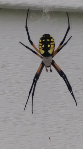 Picture of Argiope aurantia (Black and Yellow Garden Spider) - Female - Dorsal,Webs