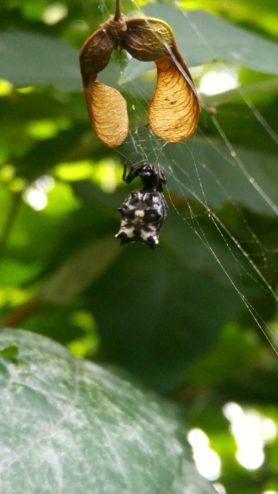 Picture of Micrathena spp. (Micrathena Spiders) - Female - Dorsal,Webs