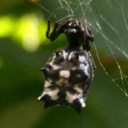 Featured spider picture of Micrathena gracilis (Spined Micrathena)