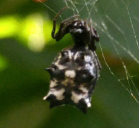 Picture of Micrathena gracilis (Spined Micrathena) - Female - Dorsal,Webs