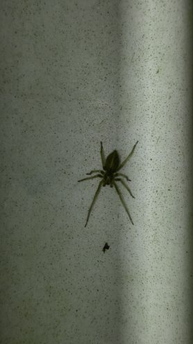 Picture of Eutichuridae (Prowling Spiders) - Male - Dorsal