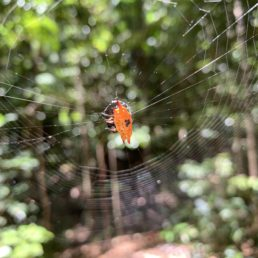 Featured spider picture of Gasteracantha quadrispinosa (Four-spined Jewel Spider)