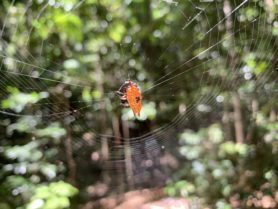Picture of Gasteracantha quadrispinosa (Four-spined Jewel Spider) - Dorsal,Webs