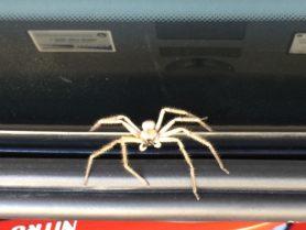 Picture of Olios giganteus (Giant Crab Spider) - Male