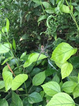 Picture of Argiope spp. (Garden Orb-weavers) - Ventral,Webs