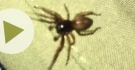 Picture of Trachelas spp. - Dorsal