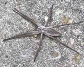 Picture of Pisaura mirabilis (European Nursery Web Spider) - Dorsal