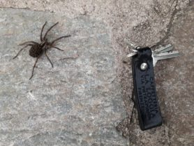 Picture of Lycosidae (Wolf Spiders) - Female - Dorsal,Spiderlings