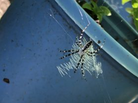 Picture of Argiope aurantia (Black and Yellow Garden Spider) - Webs