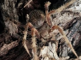 Picture of Araneidae (Orb-weavers) - Dorsal