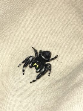 Picture of Phidippus audax (Bold Jumper) - Male - Dorsal,Eyes