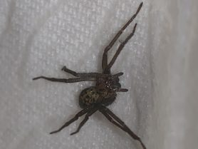 Picture of Eratigena spp. - Dorsal