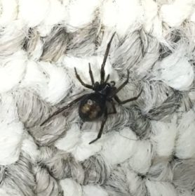 Picture of Steatoda spp. (False Widows) - Dorsal