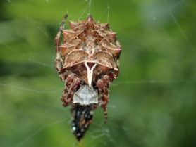 Picture of Acanthepeira stellata (Star-bellied Orb-weaver) - Female - Dorsal,Webs,Prey