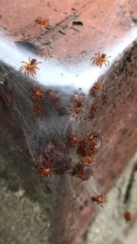 Picture of unidentified spider - Male,Female - Dorsal,Spiderlings,Webs