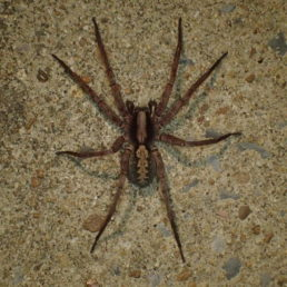 Featured spider picture of Ctenus hibernalis