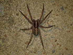 Picture of Ctenus hibernalis - Dorsal