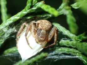 Picture of Xysticus spp. (Ground Crab Spiders) - Female - Dorsal,Egg sacs,Eyes,Webs