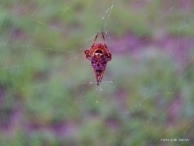 Picture of Eriophora ravilla (Tropical Orb-weaver) - Female - Ventral,Webs
